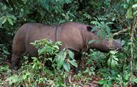 絶滅危惧スマトラサイ死ぬ マレーシア、最後の1頭
