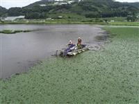 南陽市がクラウドファンディング ヒシ除去して白竜湖再生