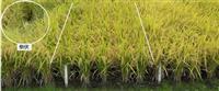 盛岡の農研機構、低コスト業務用米開発 味「ひとめぼれ並み」