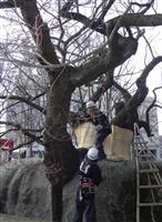 盛岡で「石割桜」雪囲い