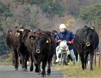 冬支度、かけ足で牛を牛舎に 京丹後の碇高原牧場