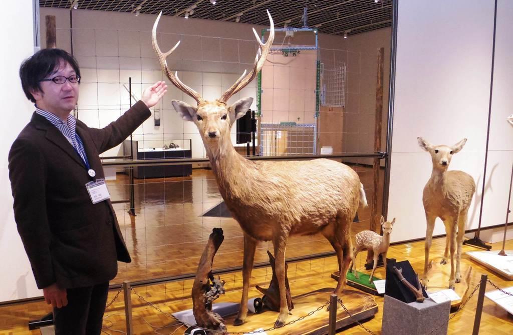 北海道博物館の企画展で展示されているエゾシカの剥製。本州以南のシカより体が大きい=札幌市(寺田理恵撮影)