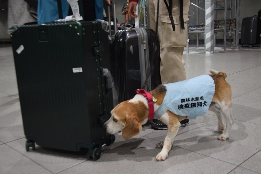 スーツケースに肉製品などが入っていないか探す検疫探知犬のアルバート=11月21日、関西国際空港
