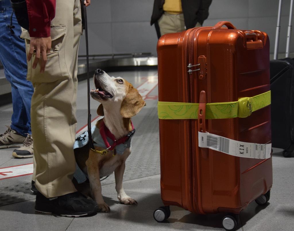 肉製品などをかぎ当て、座り込んでハンドラーに合図する検疫探知犬のアルバート=11月21日、関西国際空港