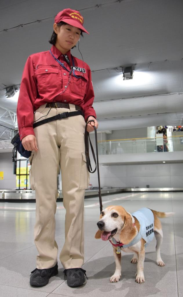 関西国際空港で活躍する検疫探知犬のアルバートと、ハンドラーの岩永真希さん=11月21日、関西国際空港