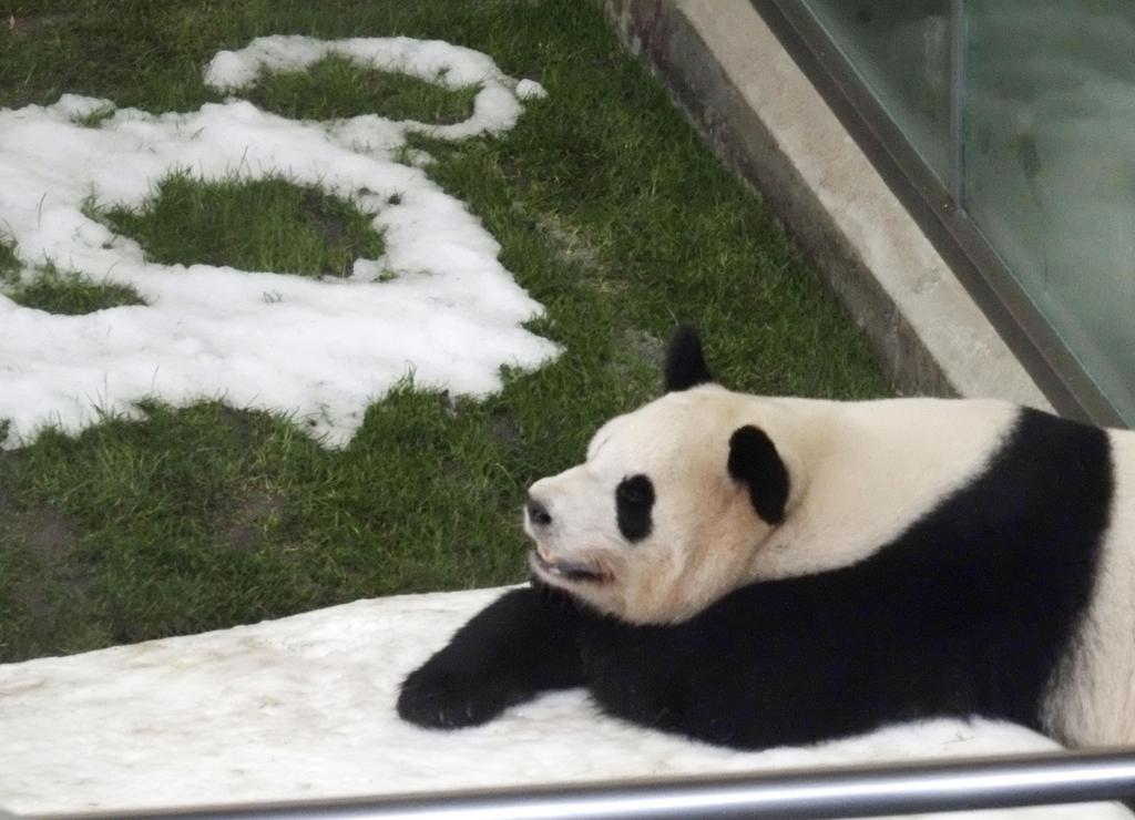 5歳の誕生日を迎えたジャイアントパンダの「桜浜」=2日、和歌山県白浜町