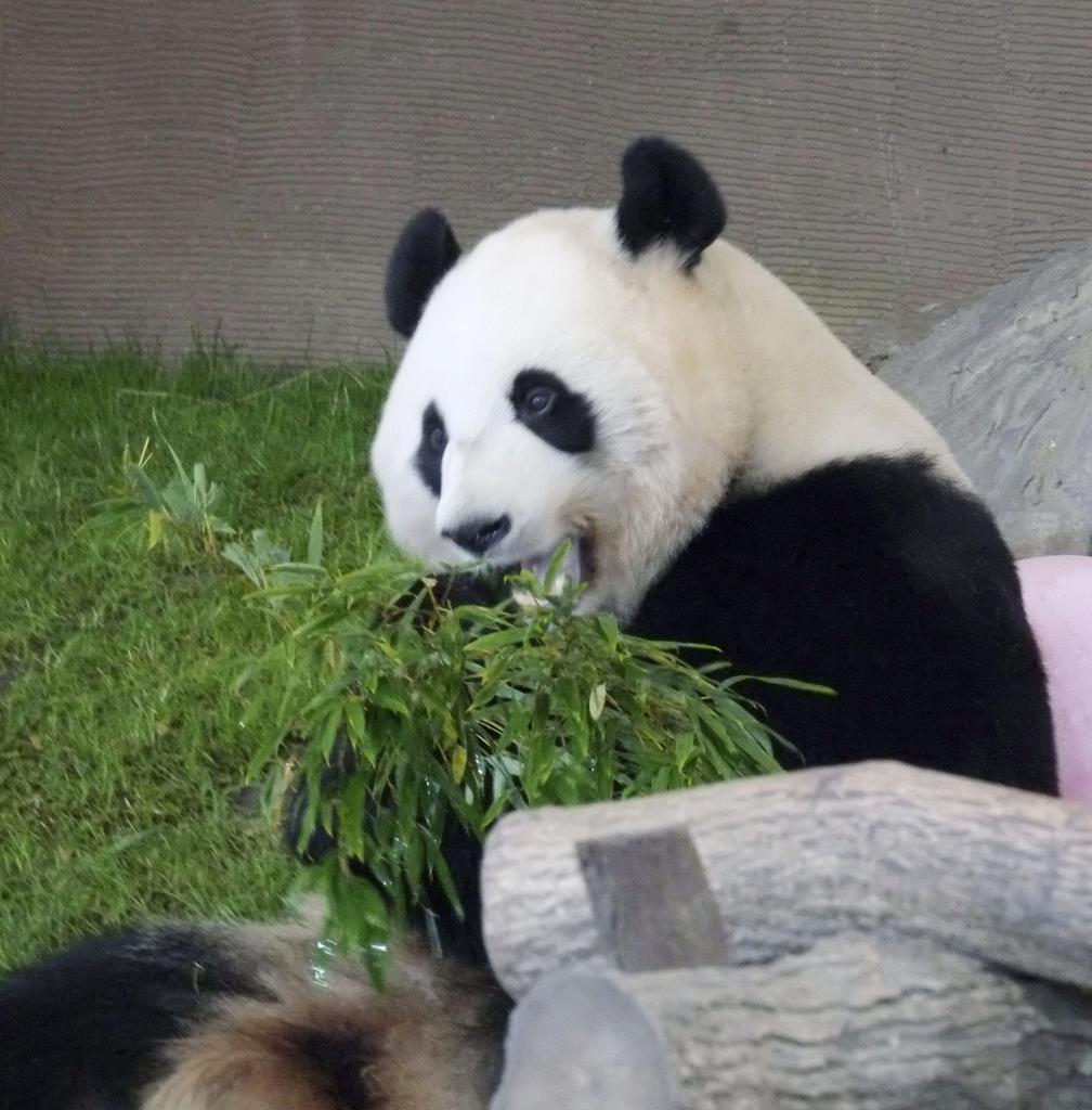 5歳の誕生日を迎えたジャイアントパンダの「桃浜」=2日、和歌山県白浜町