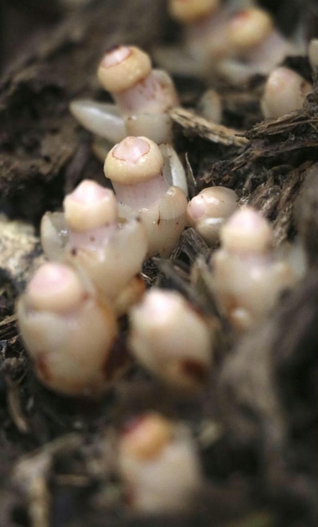 シイの木の根元から姿を現した寄生植物のヤッコソウ =11月25日、鹿児島県龍郷町