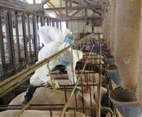 群馬で豚コレラ感染イノシシ新たに2頭、計11頭