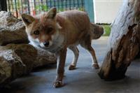 【長野・須坂市動物園 飼育員日誌】ホンドギツネの「レックス」 餌を隠したつもりが…