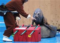 アシカがハンドベル演奏 仙台うみの杜水族館で人気