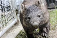 動物園のウォンバット死ぬ 大阪・池田、国内で6匹に