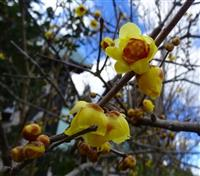「ロウバイ」芳醇な香り 丹波年輪の里で開花