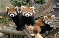 レッサーパンダ64頭誕生 繁殖で実績「最小」動物園の秘密