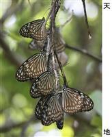 羽寄せ合って奄美で春待ち リュウキュウアサギマダラが越冬