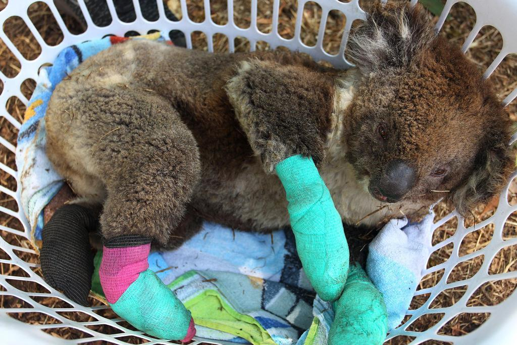 豪森林火災、コアラ支援を 名古屋市の東山動植物園