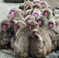 ぎゅっとくっつき暖を取る 香川・小豆島「サル団子」