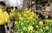 【動画】司馬遼太郎記念館「菜の花忌」前に飾り付け