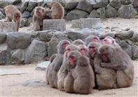 「サル団子」ぬくぬく 香川・小豆島