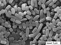 【変革 ハウス食品グループ】免疫細胞活性化させる乳酸菌 鶏にもエビにも