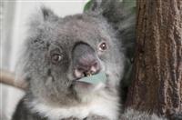 国内最高齢のコアラ死ぬ 兵庫、人間で110歳以上