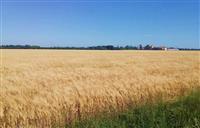 【ゴッホ展】「ゴッホの風景」(2)アルルで色彩明るく…「麦畑」