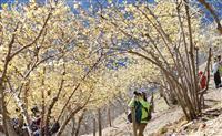山頂付近の一角が黄色に 埼玉・長瀞でロウバイが見頃