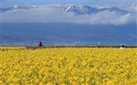 【動画】早咲き菜の花「カンザキハナナ」満開 滋賀・守山で1万2000本