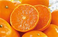 高級柑橘「訳あり」せとか 露地栽培で濃厚な甘み たっぷり果汁