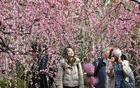 【動画あり】京都・城南宮のしだれ梅が満開