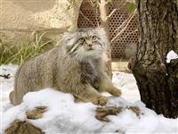 雪の中でこそ魅力的なマヌルネコ 3月20日にはオオカミの丘オープン 那須どうぶつ王国