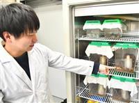 「麻薬探知ゴキブリ」も 幼虫のフェロモン感知メカニズム解明、広がる応用法