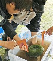 大型マリモ、6千個増加 北海道阿寒湖22年ぶり調査