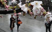 都心の桜、みぞれ降るなか開花 沖縄・奄美除き最も早く