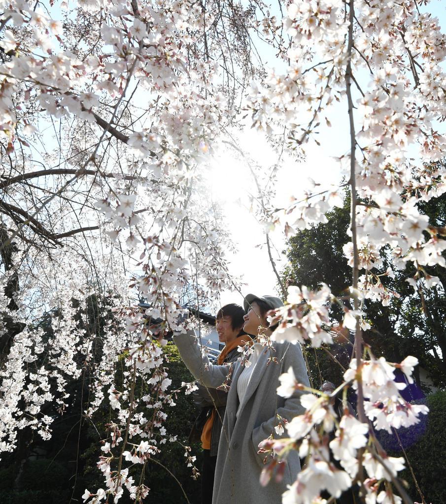 【京の桜】ゆっくりと花を愛でる 長建寺の糸桜