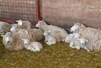 群馬・伊香保グリーン牧場で赤ちゃんヒツジ続々誕生