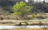 台風豪雨の流木、たくましく芽吹く 多摩川の中州