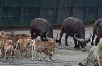 アフリカ水牛、サル、ライオン…「群れ」で見ると違いが分かる 群馬サファリパーク