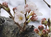 名古屋で桜開花 平年より4日早く
