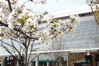 東京都心で桜満開 昨年より5日早く