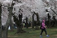 米首都、桜見頃も人少なく 管理団体「花見来ないで」