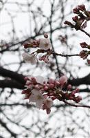 京都でサクラ開花 全国で9番目 1週間~10日後には満開
