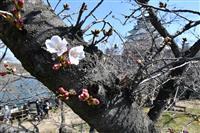 大阪で桜が開花、平年より5日早く
