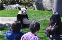 遊び回るパンダに歓声 アドベンチャーワールドが一部営業再開