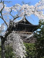 【京の桜】(動画)りんと咲く 知恩院・友禅苑の枝垂れ桜