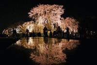 静かな夜桜…京都・円山公園でライトアップ、茶店や屋台の出店なく