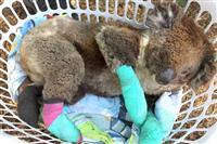 コアラ募金に835万円 名古屋・東山動植物園