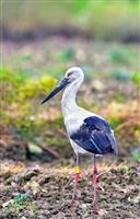 鳥取市で巣立ったコウノトリ、中国に初飛来