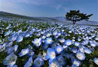 【動画】人知れず咲き誇るネモフィラ ひたち海浜公園