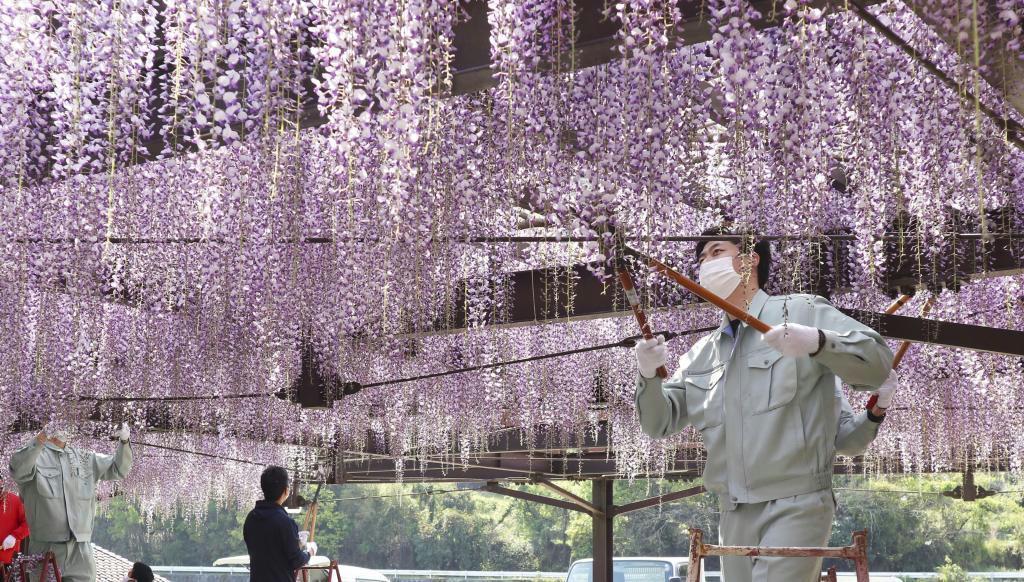 新型コロナウイルスの感染抑止のため刈り取られる「黒木の大藤」=福岡県八女市